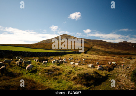 Ovejas encespedado en las montañas de Mourne, Condado de Down en Irlanda del Norte
