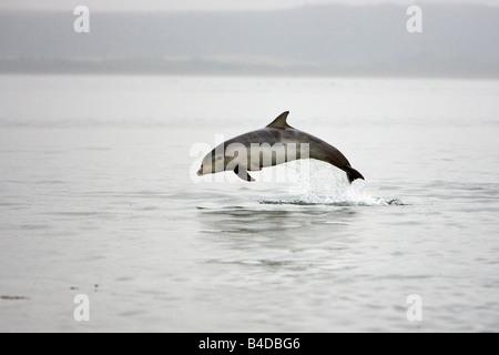"Großer Tümmler Delfín mular Tursiops truncatus ternero ""Charlie"" saltando punto Chanonry Inner Moray Firth Escocia Foto de stock"