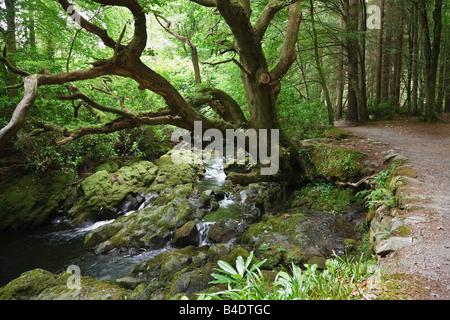 Vieja encina junto al río Shimna Tollymore Park, las Montañas Mourne, Condado de Down, Irlanda del Norte