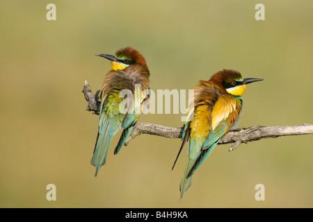 Close-up de dos europeos abejarucos (Merops apiaster) donde se posan en la rama, Hungría