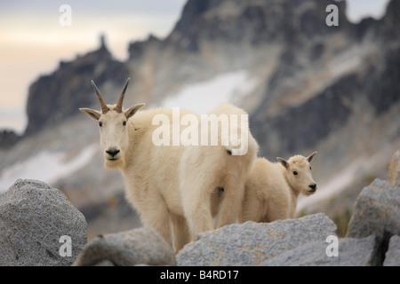 Cabra montés doe y cabrito en el Encantamiento Lakes Wilderness en el estado de Washington
