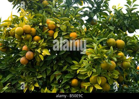 Las naranjas amargas en un árbol en Araha, Andalucía, España