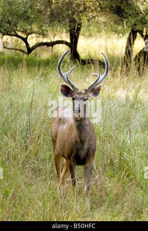 Macho adulto de ciervos Sambar, Rusa unicolor, el Parque nacional de Ranthambore, Rajasthan, India
