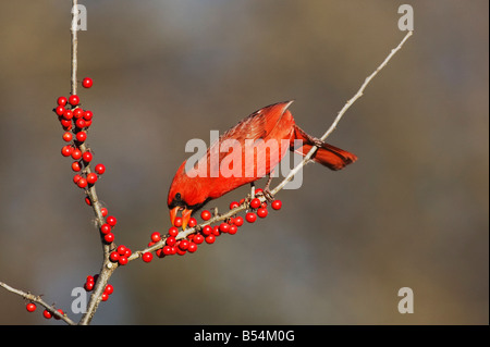 Cardenal norteño Cardinalis cardinalis macho comiendo Possum Haw Acebo Ilex decidua bayas bandera de Texas Hill Country, EE.UU.