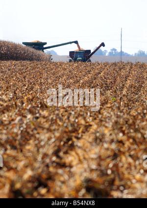 Una cosechadora cosecha un campo de maíz madura en otoño y un tractor tirando de un remolque de grano viene a lo largo de lado.
