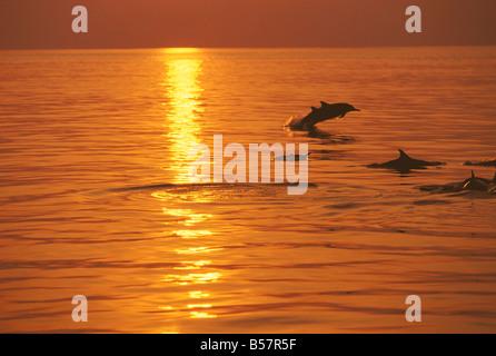 Delfines nadando al atardecer, Maldivas, Océano Índico, Asia