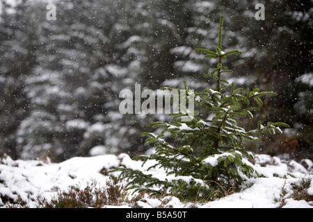 La nieve caída en el joven retoño de coníferas perennes pinos en un bosque en el condado de Antrim Reino Unido Irlanda del Norte