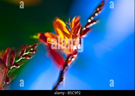 Acercar la flor de naranja brillante sobre fondo borroso azul y verde isla de Ouessant Bretaña Francia Foto de stock