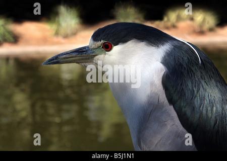 USA Esta corona negra noche Heron fue capturado por el estanque