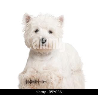 West Highland White Terrier 8 meses delante de un fondo blanco. Foto de stock