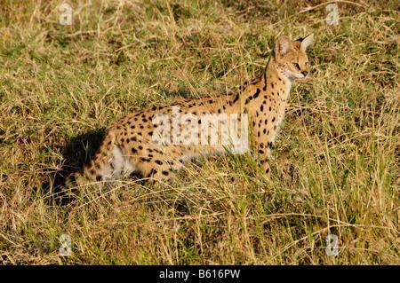 Serval (Leptailurus serval), el cráter del Ngorongoro, el Área de Conservación de Ngorongoro, Tanzania, África