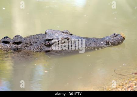 El agua salada o Equodouris (Crocodylus porosus), Queensland, Australia