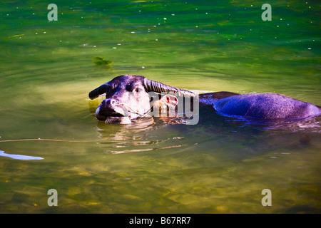 Un alto ángulo de visualización de un búfalo de agua (Bubalus bubalis) en el agua, el río Li, XingPing, Yangshuo, Guangxi, China