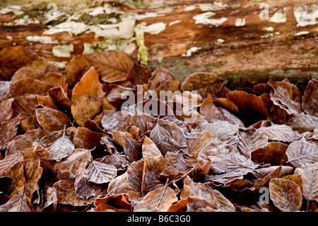 El cobre hayedos deja sobre el terreno en Thorndon Park en Essex.