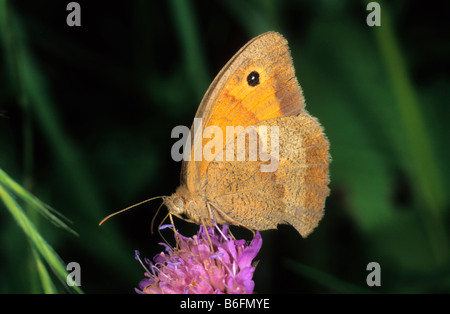 Meadow Brown (Maniola jurtina), hembra bebiendo néctar