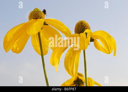 Brillante (Coneflower Rudbeckia nitida), blossom