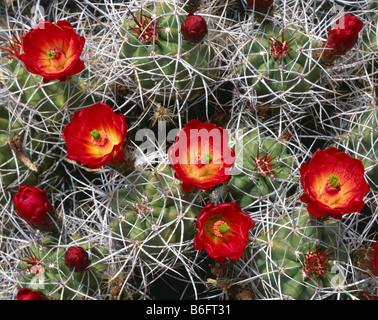 CALIFORNIA - Mojave, cactus Echinocereus triglochidiatusat montículo, La Cholla Cactus Garden en el Parque Nacional Joshua Tree.