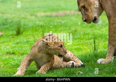 Cerca de un lindo cachorro de león con la madre