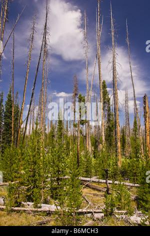 El Parque Nacional Yellowstone, Wyoming USA - bosque en el área del lago Riddle