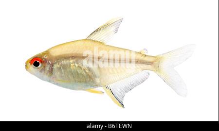 Peces Hyphessobrycon bentosi delante de un fondo blanco.