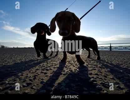 Dos Teckel miniatura en una caminata por la mañana en Brighton Seafront