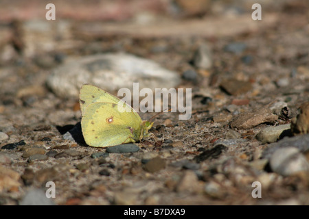 Solo empañó el azufre Butterfly