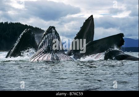 Las ballenas jorobadas alimentando, Estrecho de Chatham, al sureste. Alaska