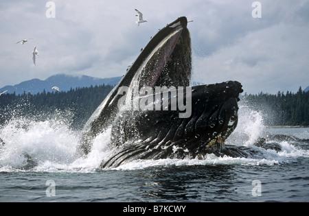 Ballena Jorobada lunge, alimentación Iyoukeencove, Estrecho de Chatham, sureste de Alaska