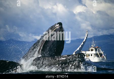 Las ballenas jorobadas bubblenet alimentación, Estrecho de Chatham, al sureste. Alaska