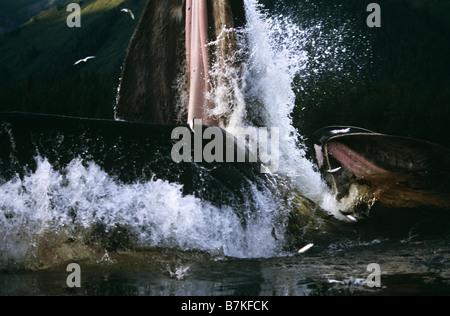 Ballena Jorobada lunge,Tenakee alimentación admisión, sureste de Alaska