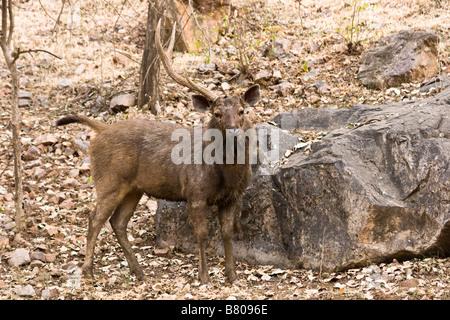 Sambar macho de ciervo o de ciervo Cervus Unicolor con una cornamenta faltante. El Parque Nacional Ranthambhore, India.