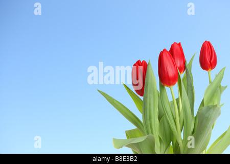 Tulipanes rojos con fondo de cielo azul