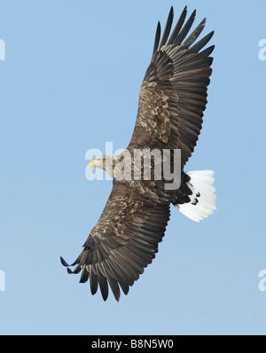 El águila de cola blanca Águila Haliaeetus albicilla Mar Noruega