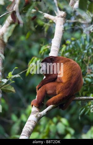 Mono aullador (Alouatta seniculus) sentada en un árbol