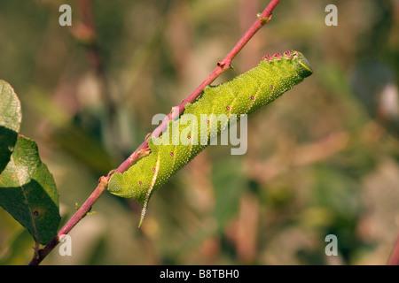 Eyed polilla halcón Smerinthus ocellata Sphingidae caterpillar en cetrino UK