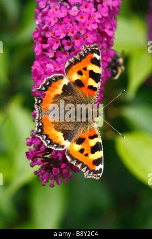 Small Tortoiseshell butterfly (Aglais urticae) alimentándose de Buddleia davidii 'Royal Rojo' en un jardín. Powys, Gales. Foto de stock