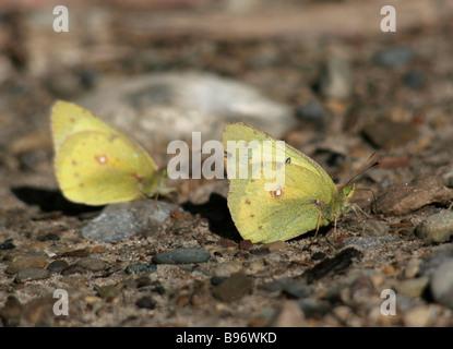 Par de azufre nublado mariposas