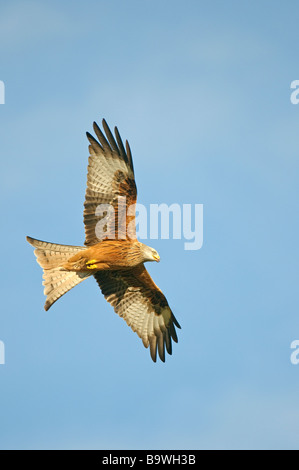 Red Kite Milvus milvus adulto en vuelo Gales Enero