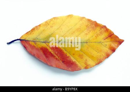 Beech, común europeo de haya (Fagus sylvatica), hoja en colores de otoño, studio picture