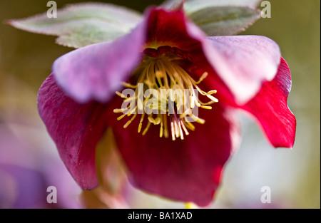 De cerca una púrpura o Hellebore Helleborus orientalis un invierno y primavera herbácea perenne de floración