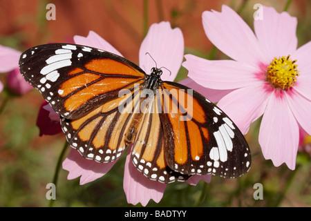 Mariposa sobre Flor, Chiang Mai, Tailandia