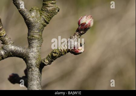 Apertura de yemas en una rama de manzana en primavera