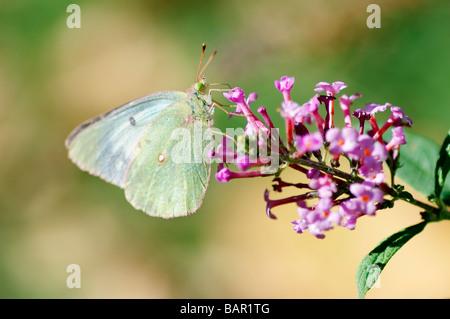 Azufre nublado, Colias philodice mariposas, alimentándose de butterfly bush, Buddleja. Oklahoma, Estados Unidos.
