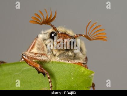 Cabeza y antenas de un adulto cockchafer Melolontha melolontha o bug en una hoja