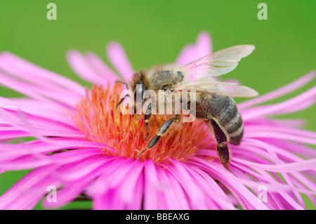 Miel de abejas en flor
