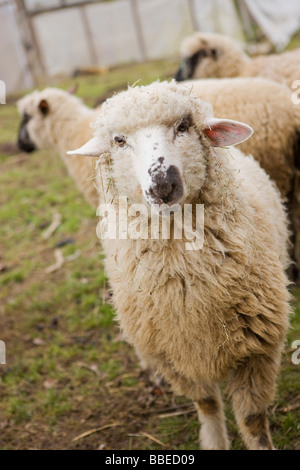 Retrato de un barro en una granja de ovejas en Hillsboro, Oregón, EE.UU.