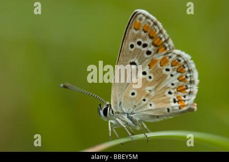 Sur de Brown Argus butterfly (Aricia cramera)