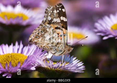 Painted Lady Butterfly. Vanessa cardui