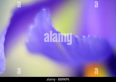 En un invernadero de flores de iris Inglaterra Verano Foto de stock