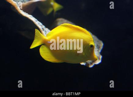 Tang Amarillo, Zebrasoma Flavescens, Acanthuridae, Perciformes. Océano Pacífico